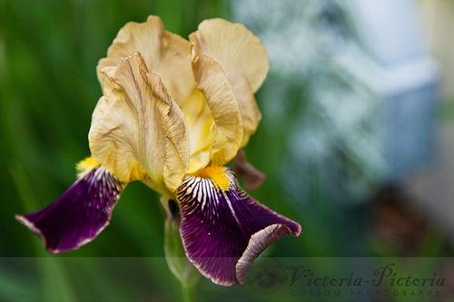 Old-iris-1