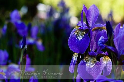 Purple-iris