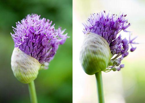 Allium-spring