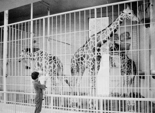 Mom-Vic-Giraffes