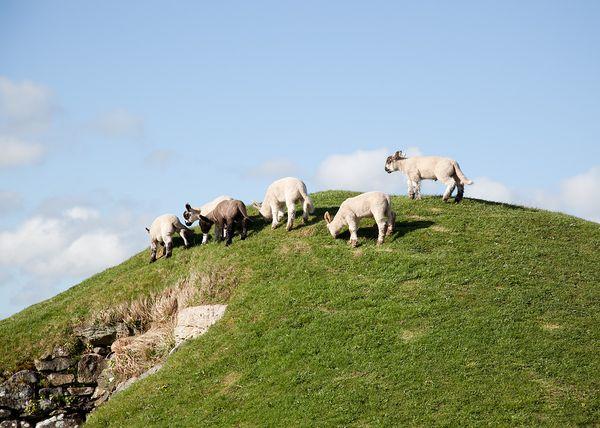 Lambs again
