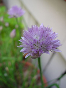 Chive1