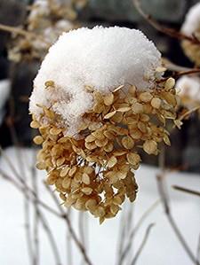 Snow_hydrangea