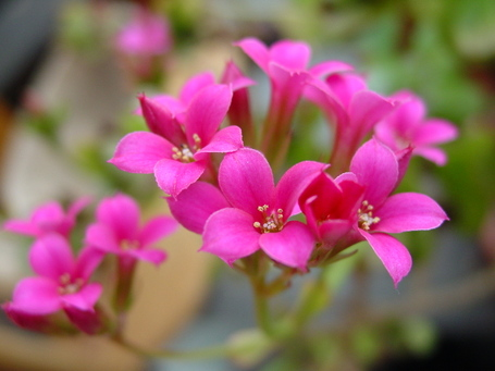 Kalanchoe_flowers