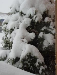Snow_bush